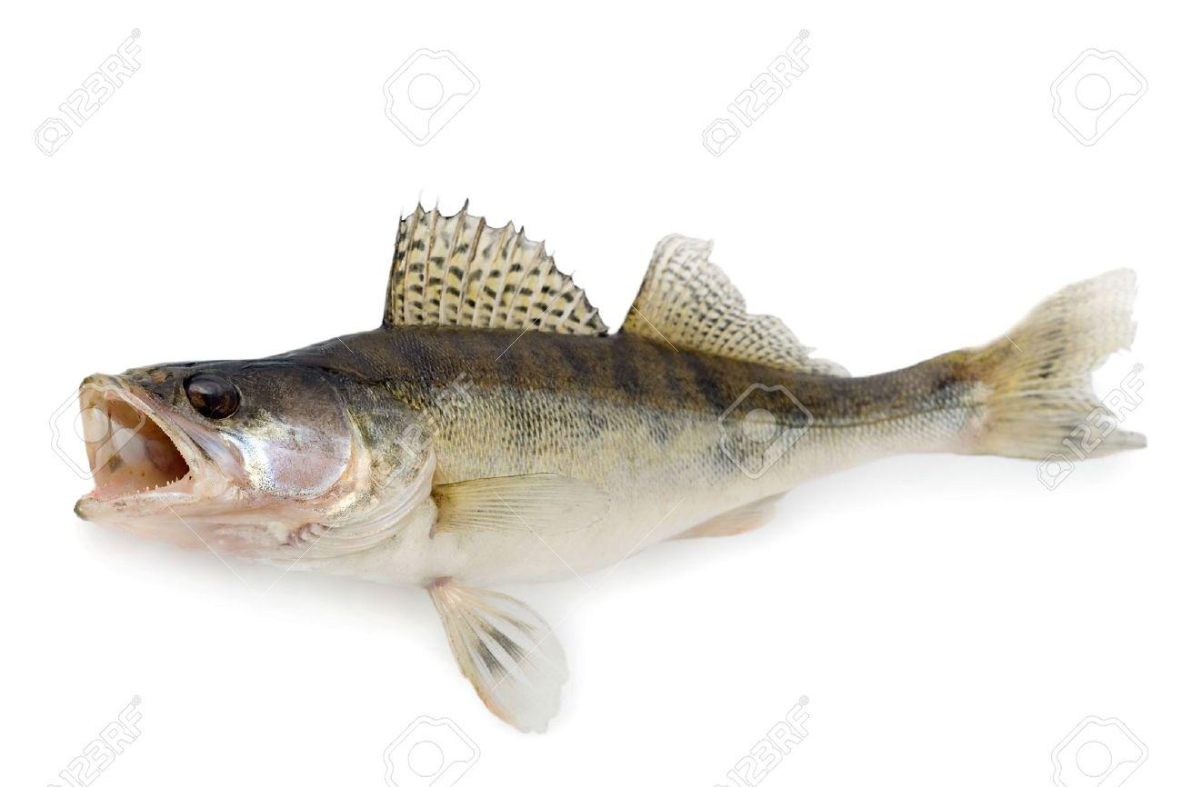 5999966-Walleye-or-Zander-Stock-Photo-fish